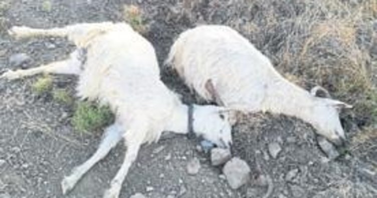 Komşusuna kızdı 25 keçiyi telef etti