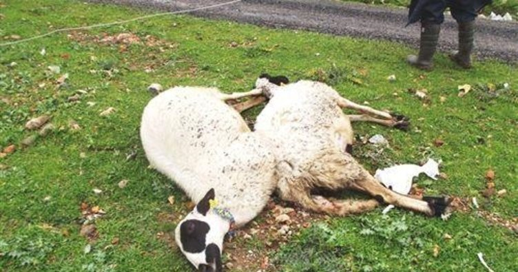 Sürüye saldıran kurtlar 63 koyunu telef etti