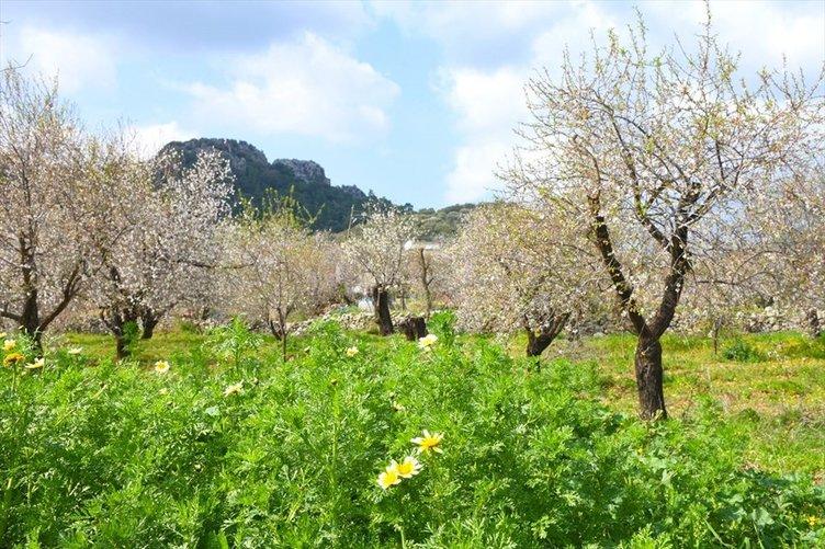 Muğla'da Badem Çiçeği Festivali'nden renkli görüntüler
