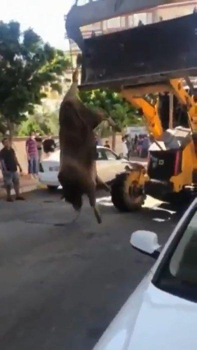Son dakika: Şanlıurfa'da akılalmaz görüntü. Hayvanı kesim alanına böyle götürdüler! Sosyal medyada tepki yağıyor...