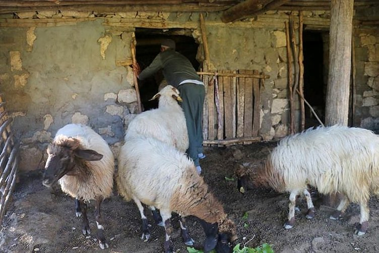 Aç kurtların saldırdığı sürüdeki 51 koyun telef oldu