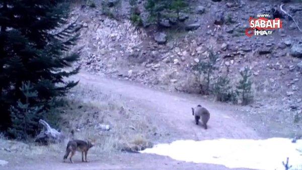 Ankara'da kurt ile ayının şaşırtan mücadelesinin galibi bakın kim oldu!