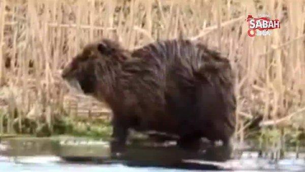 Ağrı'da su maymununun kendini temizlediği sevimli anlar kamerada