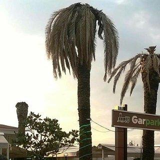 Aydın'da palmiyeler kuruyor