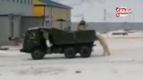Rusya'da şantiyelere inen kutup ayıları paniğe neden oldu | Video