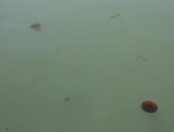 İzmir Körfezi'ni denizanaları istila etti