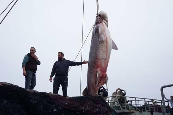Marmara'da 1 ton ağırlığında köpek balığı yakalandı