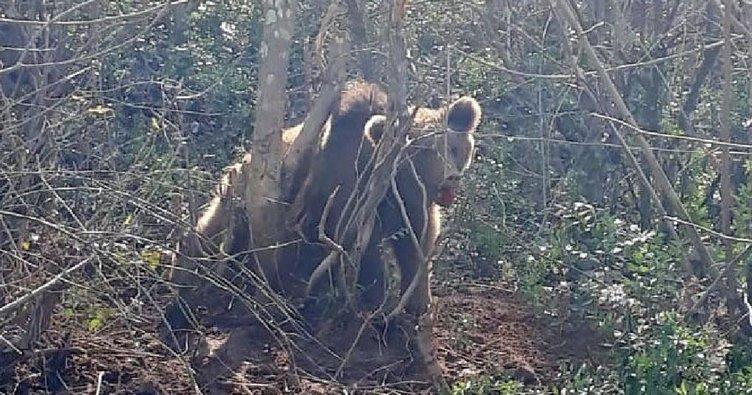 Kapana sıkışan ayıyı jandarma kurtardı