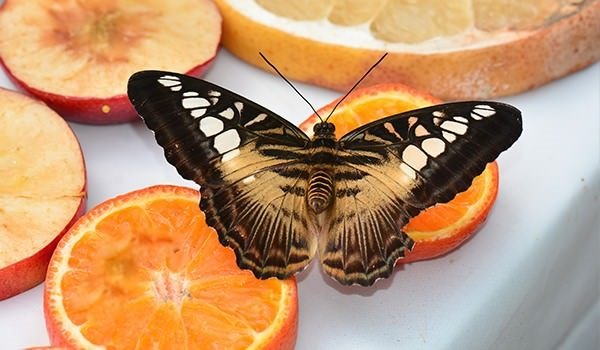 Hangi kelebek kaç gün yaşıyor?