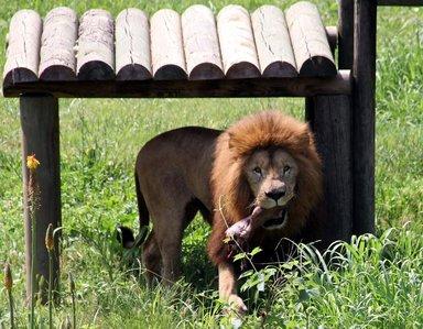 Aslanlar testi başarıyla geçti