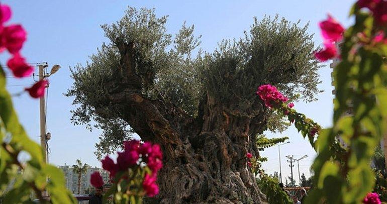Mersin'de bin 500 yıllık zeytin ağacının tescili için çalışma