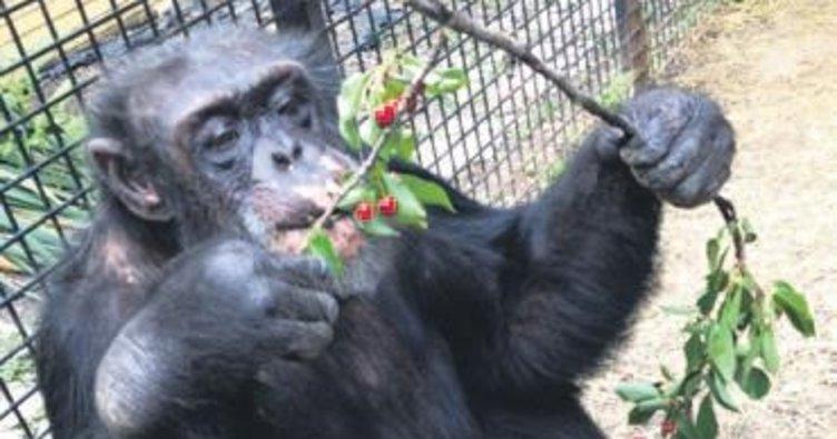 'Şempanzeler hâkim karşısına çıkamaz'