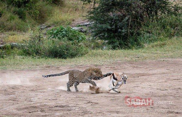 Vahşi doğadan tüyler ürperten anlar! Aslanlar bir anda zürafa sürüsünün arasına dalınca...
