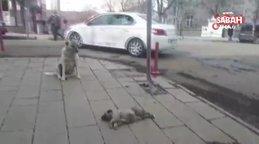 Kars'ta yürekleri dağlayan görüntü! Ölen yavrusunun başında bekleyen anne köpek kamerada