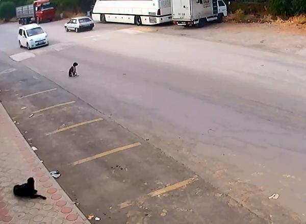 Antalya'da köpekleri bilerek ezen o sürücü yakalandı