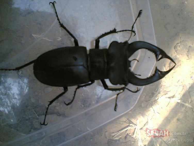 Yalnızca Hatay'da yaşadığı sanılan Böceklerin kralı' Çanakkale'de görüldü
