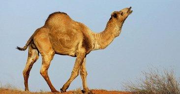 5 bin deve tüfeklerle öldürüldü! Avustralya katliama devam edecek