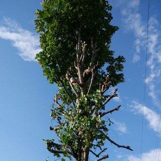 Ihlamur toplamak için çıktığı ağaçta...