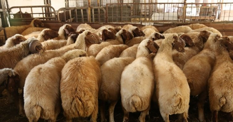 300 koyun projesi için yarın son gün!