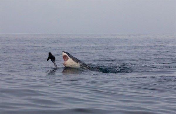 Köpekbalığının ürkütücü avı!