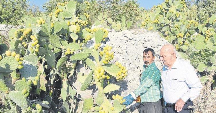 Dikenli incirde hedef ihracat