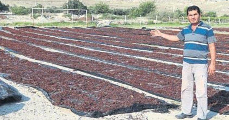 Kuru üzümler sahaya serildi