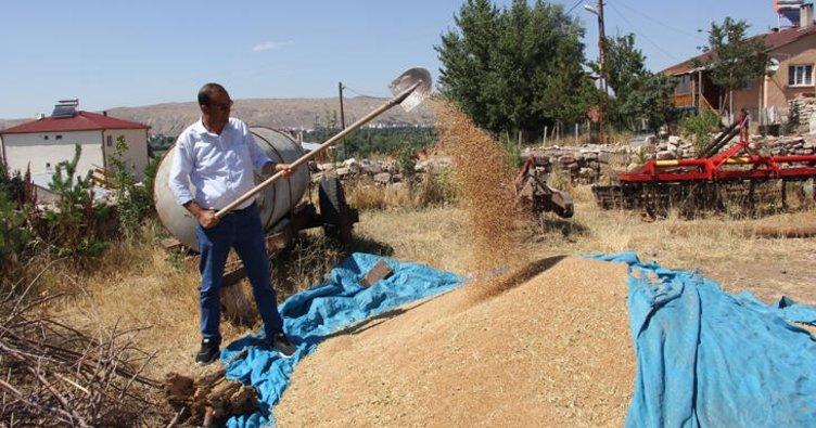 Habeş buğdayının ilk hasadı yapıldı