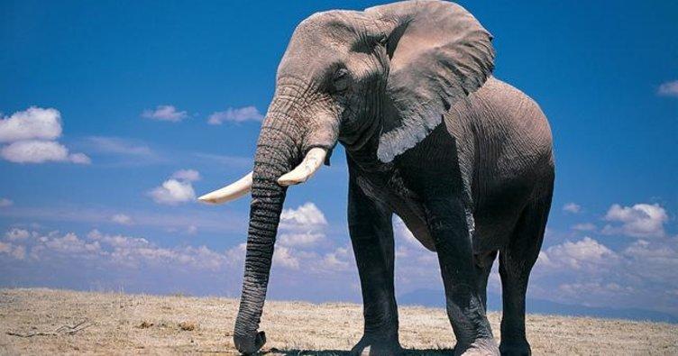 Fillerin doğal yaşam alanı neresidir? Filler hangi kıtada yaşarlar.