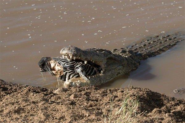 Vahşi doğada müthiş kapışma