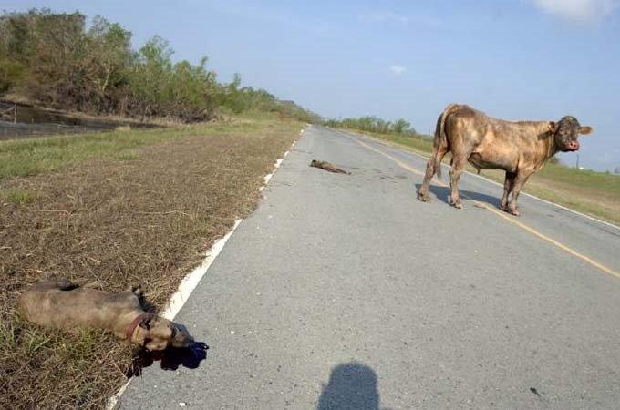 Canavar pitbullar sokaklarda!