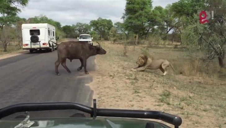 Safariye çıktılar! Gördükleri manzara karşısında hayatlarının şokunu yaşadılar