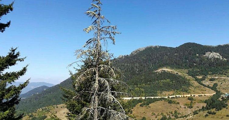 Kuruyan ladin ağaçları insanları tedirgin ediyor