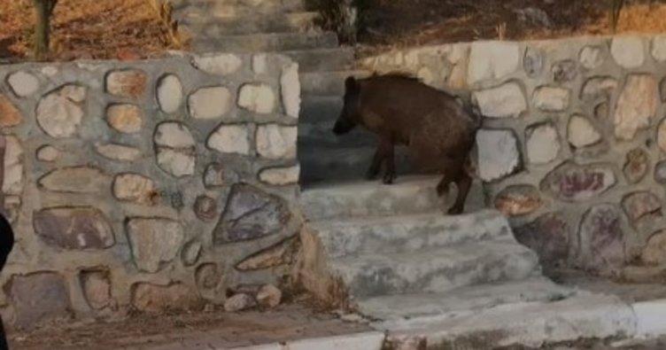 Site sakinleri yaban domuzunu evcilleştirdi