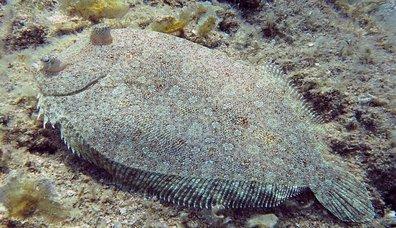 Pisi Balığı