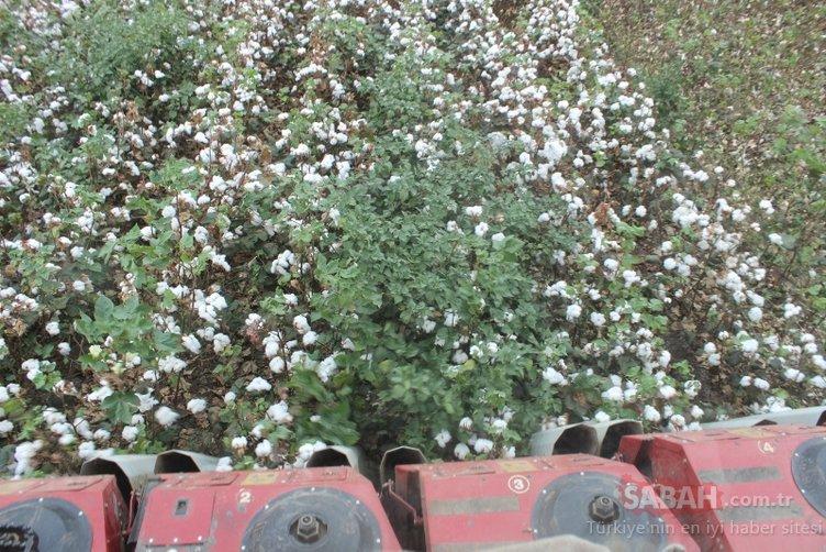 Hatay'da 260 bin ton pamuk rekoltesi bekleniyor!