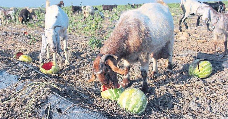 Tarlada kalan karpuz keçilere yem oldu