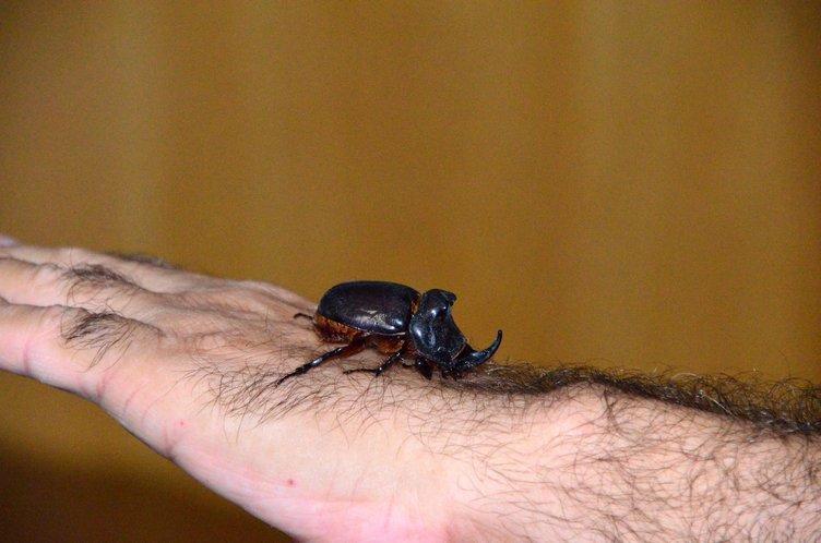 Bahçesinde gergedan böceği buldu