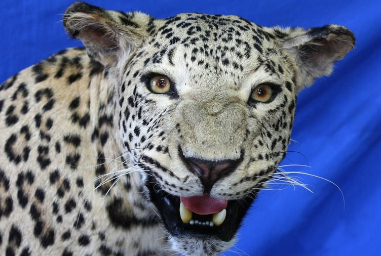 Diyarbakır'da öldürülen leopar ölümsüzleşti