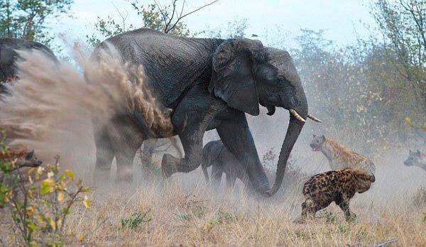 Yavrusunu korumak için saldırdı!