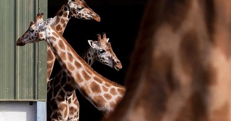 Nesli tükenmekte olan Rothschild zürafalarının korkunç ölümü! Elektrik tellerine takılarak öldü