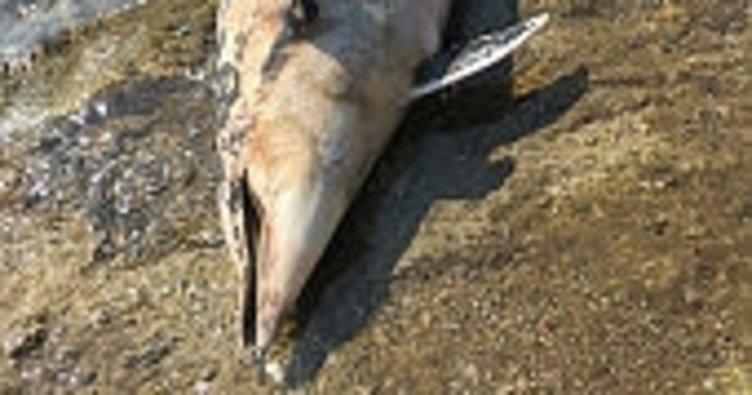 Kıyıya vuran ölü yunus turistleri şoke etti