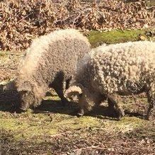 Koyuna benzeyen domuzlar şaşırttı