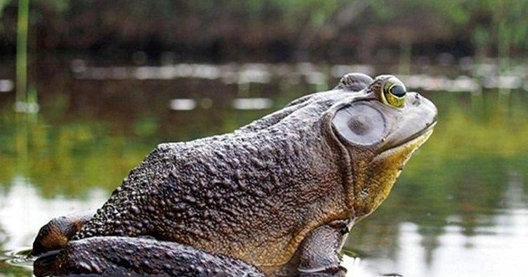 Rüyada kurbağa görmek ne anlama gelir? Rüyada kurbağa görmenin manası - Rüya tabirleri