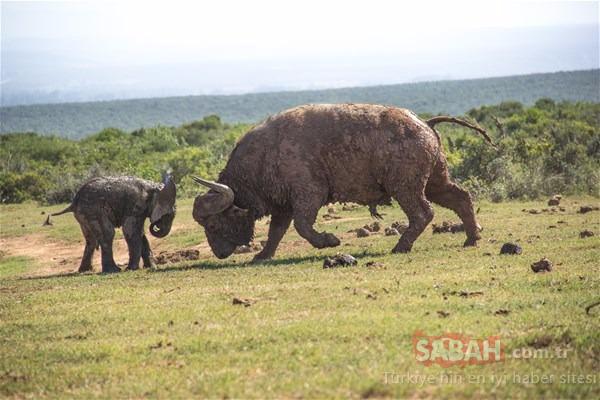 Doğanın acımasız yüzü! Bufaloyla karşı karşıya gelen yavru fil...